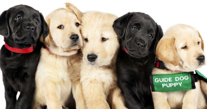 Netflix are showing a documentary about puppies becoming guide dogs - and it's the cutest thing   The Irish Post