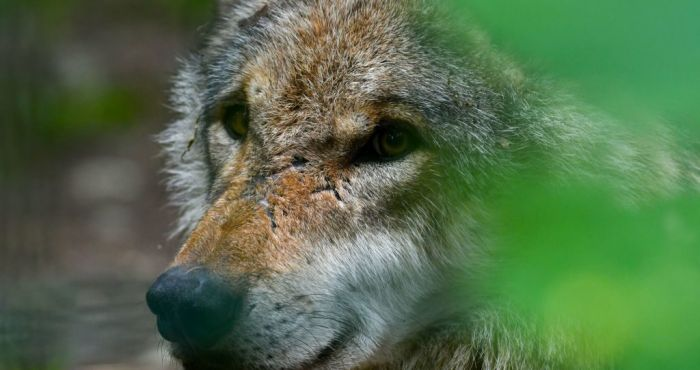 Calls for wolves to be reintroduced to Ireland 250 years after extinction