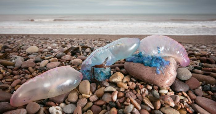 'Thousands' of dangerous Man o' War jellyfish appear on Irish beaches