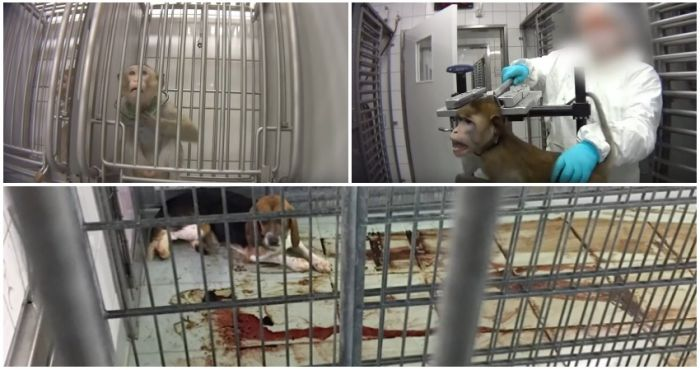 WATCH: Horrific footage uncovers extreme animal cruelty in German laboratory | The Irish Post