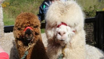 This Alpaca and Prosecco Hike in Wicklow Only Costs €20 And We Are Living For It