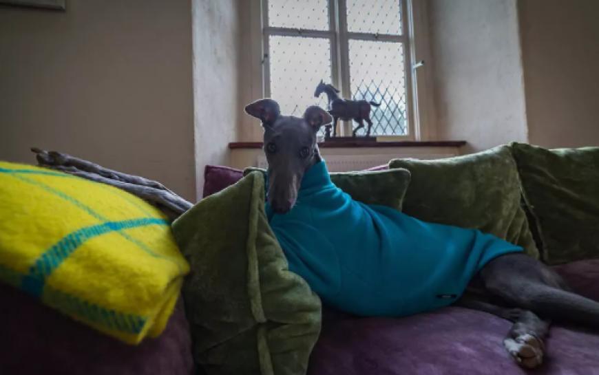 Galway Dog