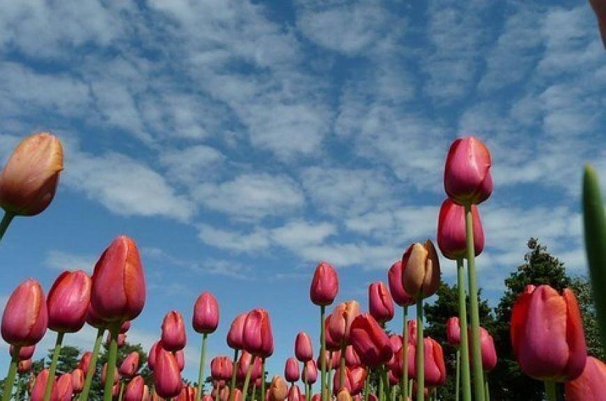 In-the-tulip-gardens-of-Amsterdam-1