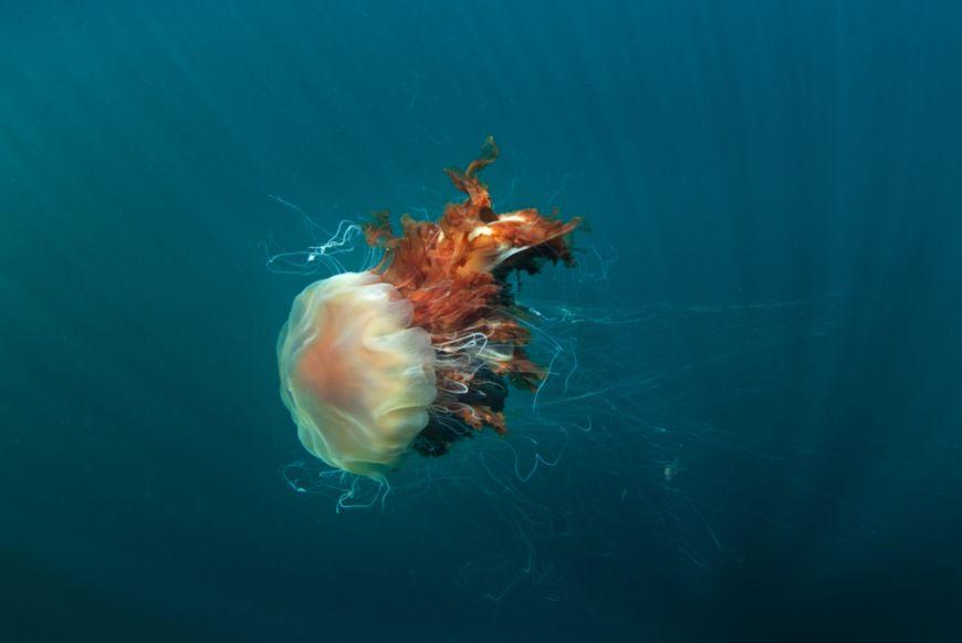 Lions Mane Jellyfish 2