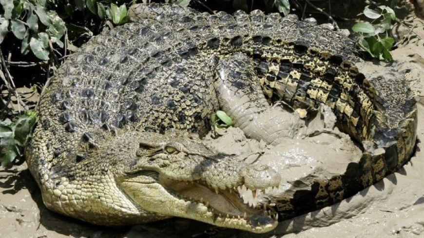 Saltwater-or-estuarine-crocodile
