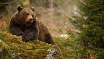 Brown bears to return to Irish shores for the first time in thousands of years