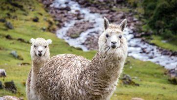 Alpaca trekking at this lodge in Kenmare is the perfect weekend activity