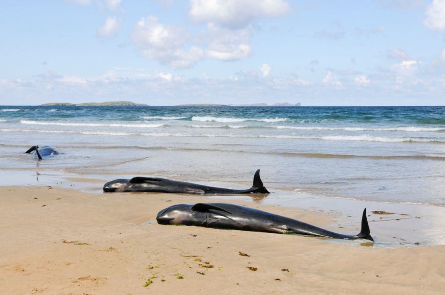 Beached Whales Ireland