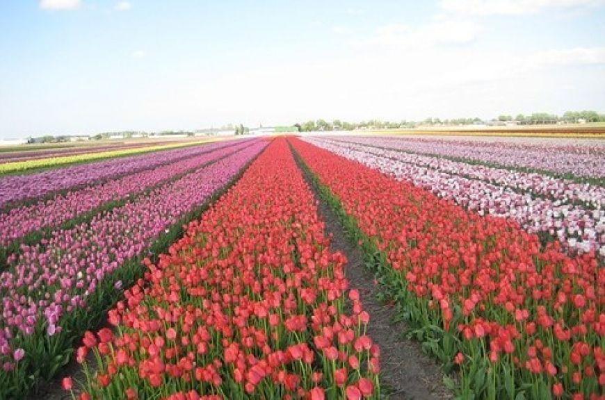 In-the-tulip-gardens-of-Amsterdam-2