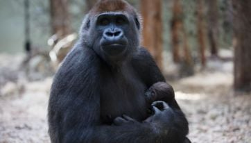 Dublin Zoo launch competition to name new baby gorilla