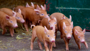 Dublin Zoo has welcomed 13 adorable new piglets