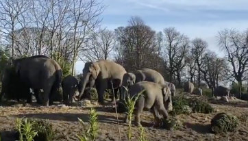 WATCH: Elephant calves at Dublin Zoo had a ball playing with discarded Christmas trees