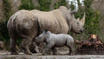Adorable baby rhino born at Dublin Zoo