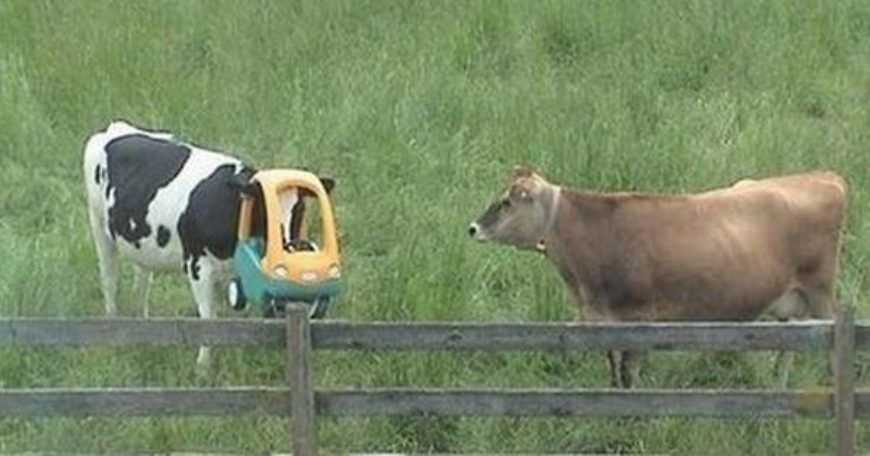 cow-with-head-in-childs-toy-car