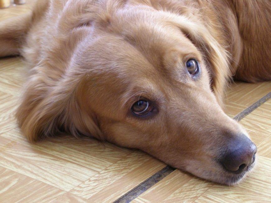 hungover-dog