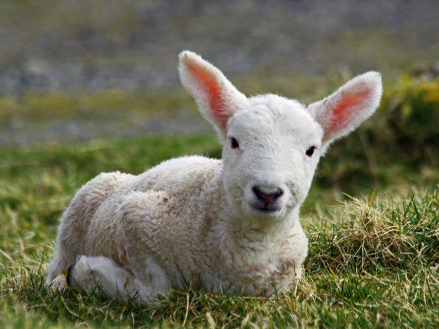 Cheviot lamb on the Isle of Lewis