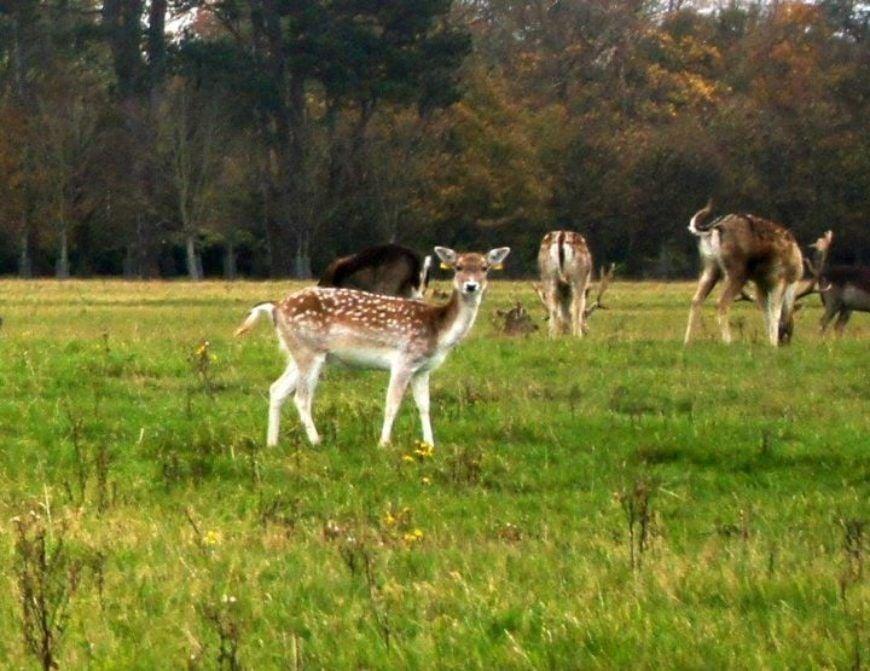 Deer at phoenix park 1