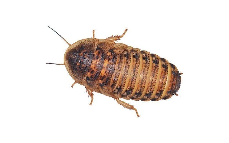 Live Cockroach