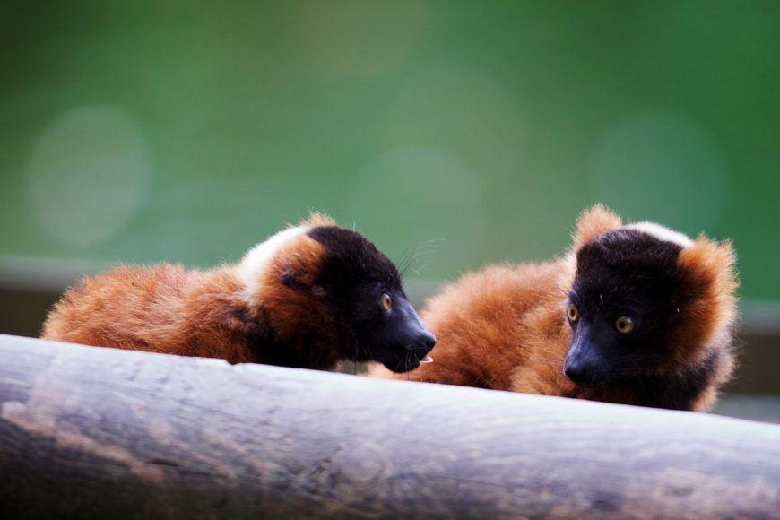 Dublin Zoo Lemur 007