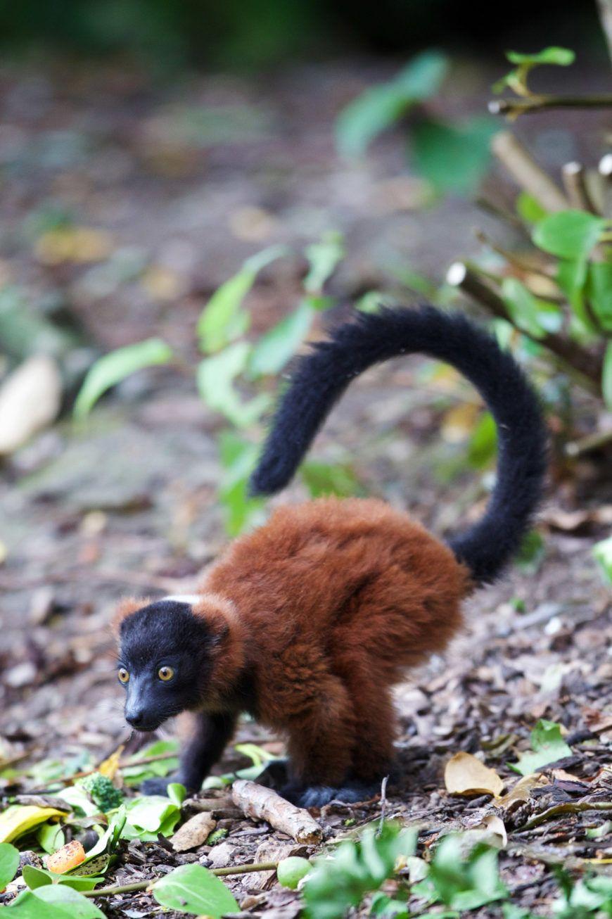 Dublin Zoo Lemur 001