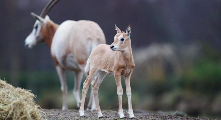 Scimitar Horned Oryx Calf Dublin Zoo Large