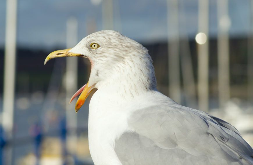 Seagull Scary