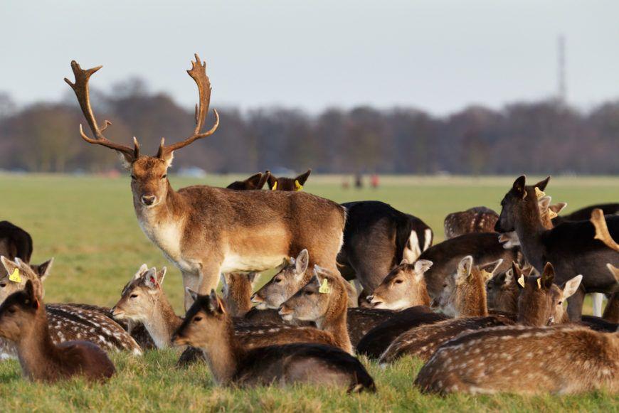Phoenix Park Deer 2