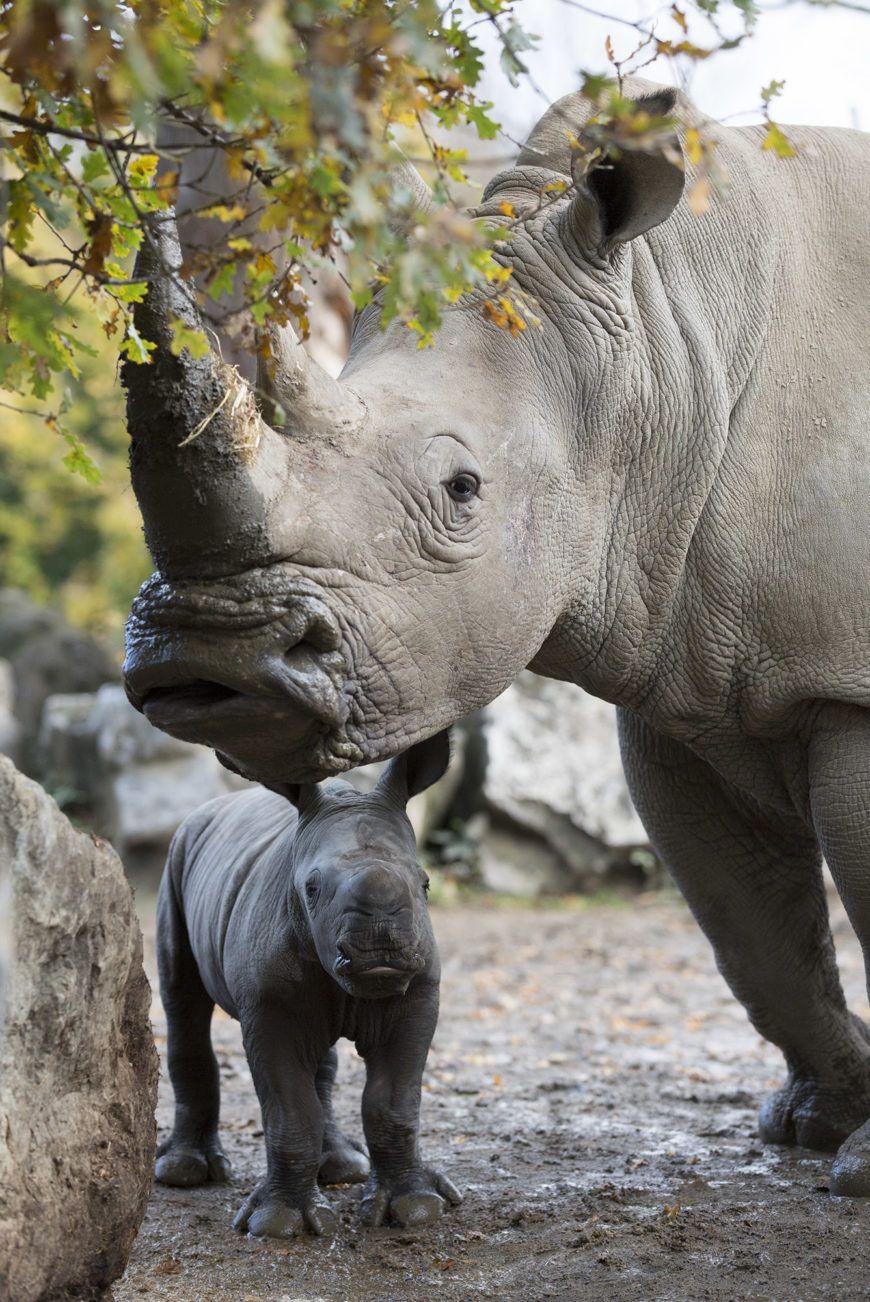 Dublin Zoo Rhino03
