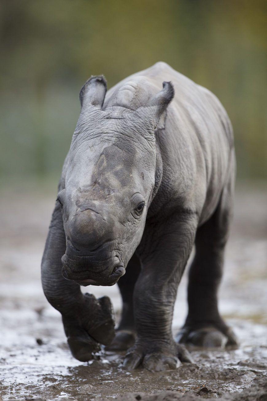 Dublin Zoo Rhino09