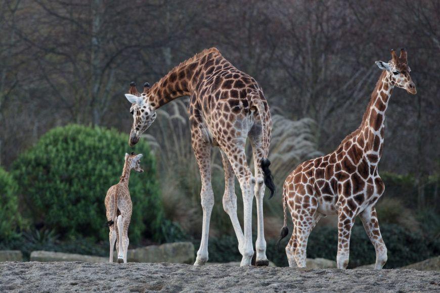 Dublin Zoo Girraffe 02