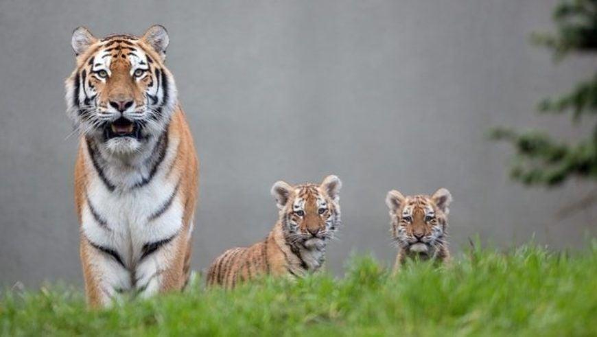 Dublin Zoo Tigers