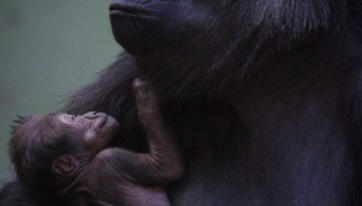 PICS: A Baby Gorilla Has Been Born At Dublin Zoo And It's Adorable