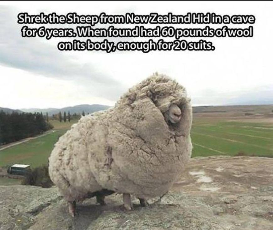 60-pounds-of-wool