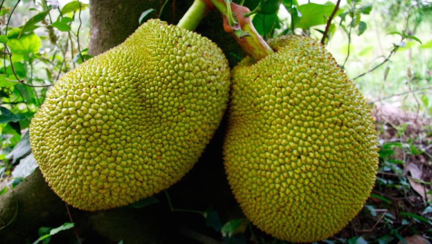 jackfruit-3