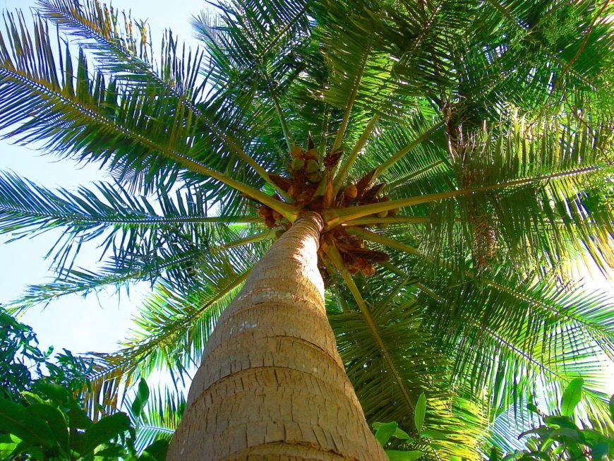 Coconut Tree in Tamilnadu