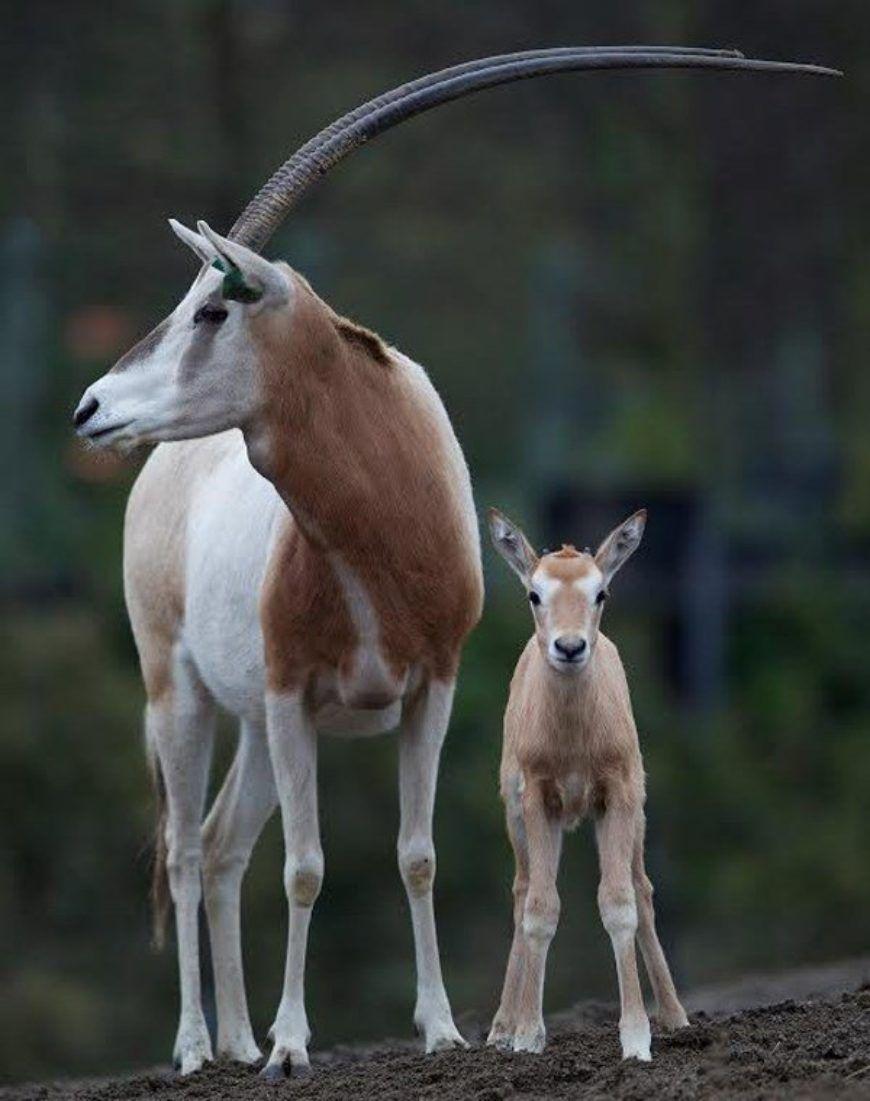 Zzzscimitar Horned Oryx Calf Dublin Zoo Large