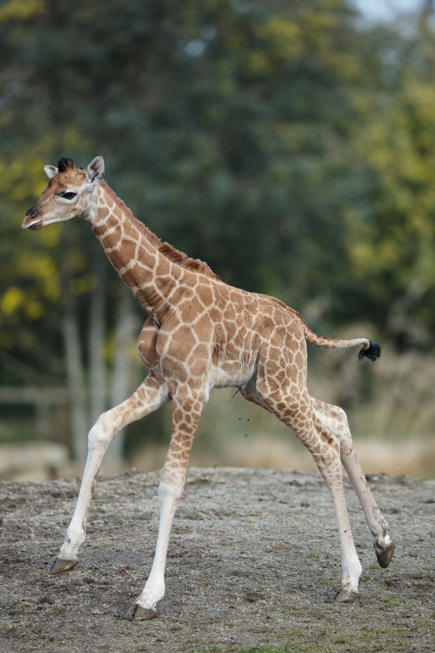 Dublin Zoo Girraffe 01