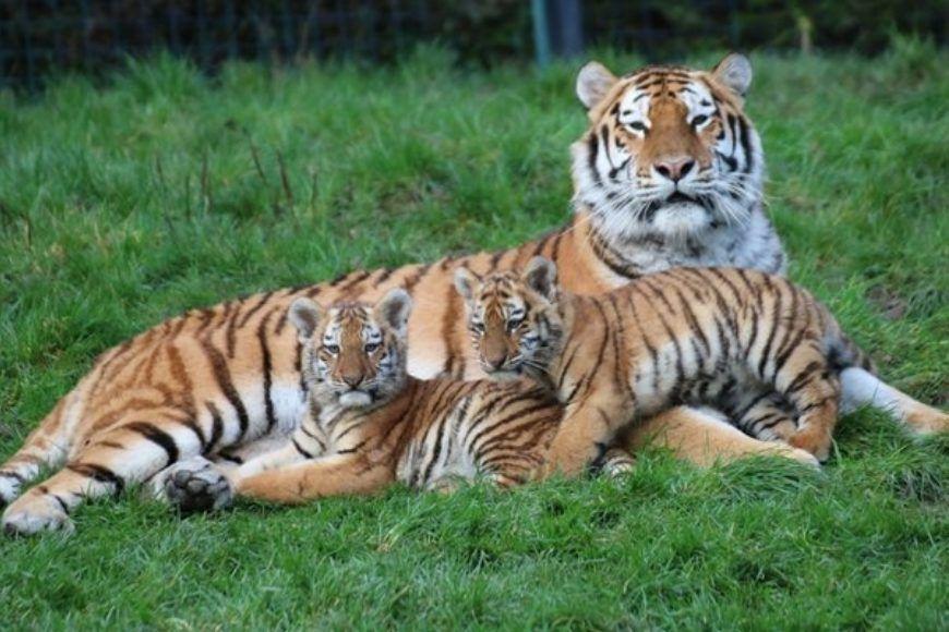 Dublin Zoo Tiger Cubs