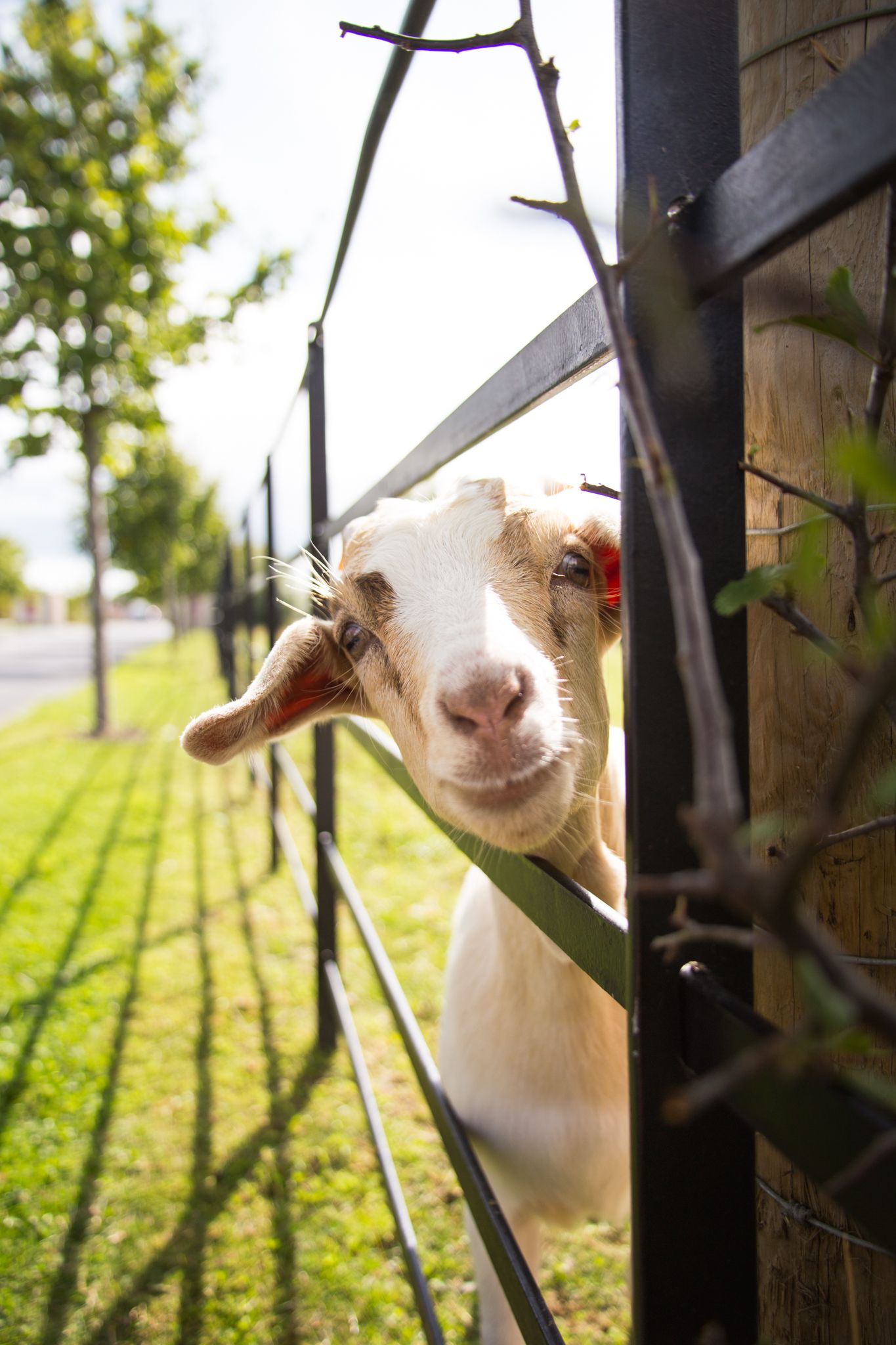 Billy the goat at Airfield Estate