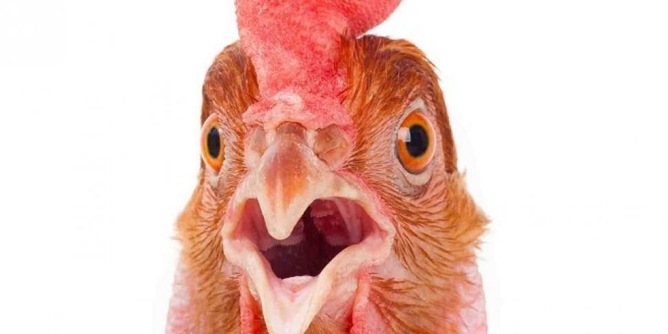 sleeping-next-to-a-live-chicken-will-protect-you-from-mosquitoes.jpg
