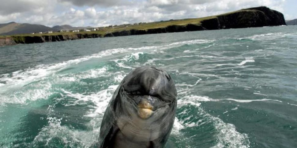 Kerry's Fungie the Dolphin...