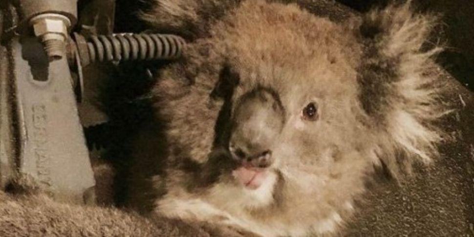 PICTURES: Koala discovered in...