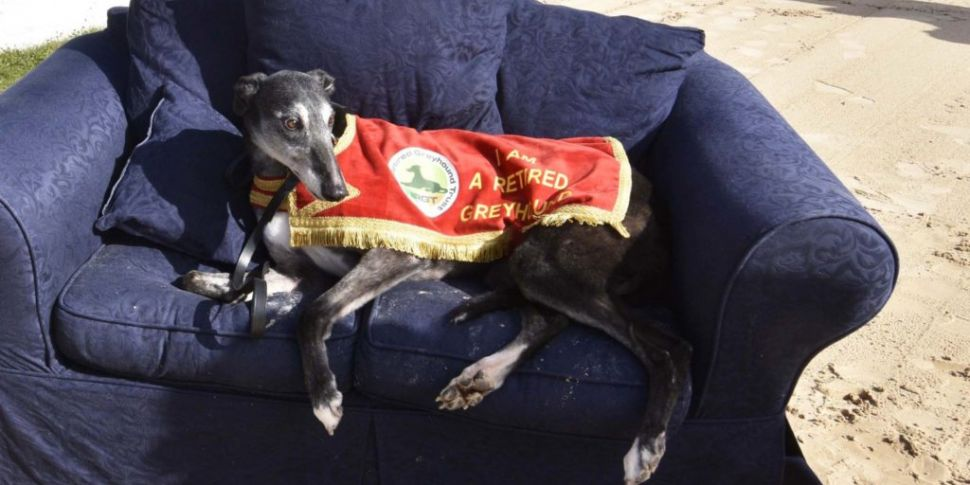 Over 1,000 retired greyhounds...