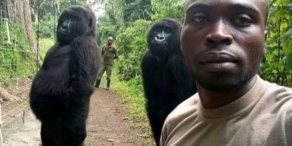 Gorillas pose for selfie with...