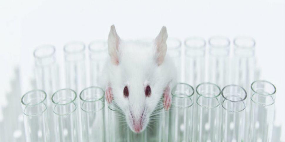 Human animal hybrid experiment...
