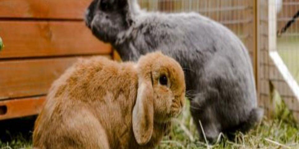 Pet rabbits are depressed, dis...