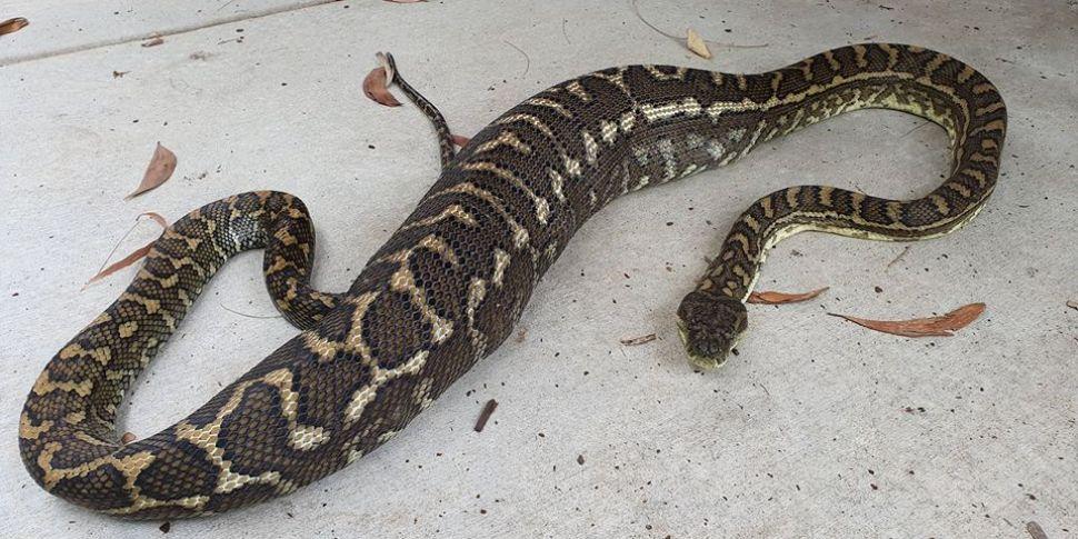 Python eats family cat on Aust...