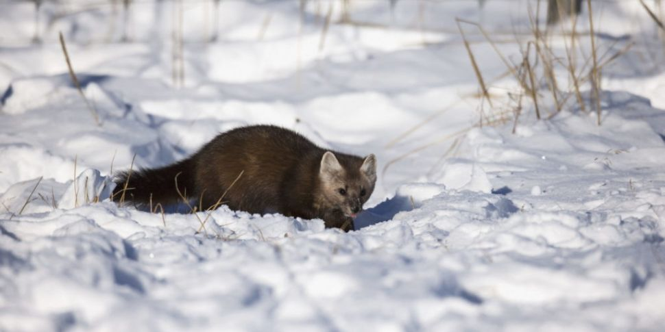 Sable found carrying rabies-li...