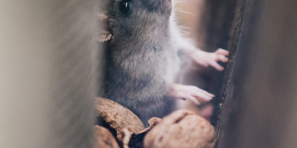 Illegal dumping leads to rat i...