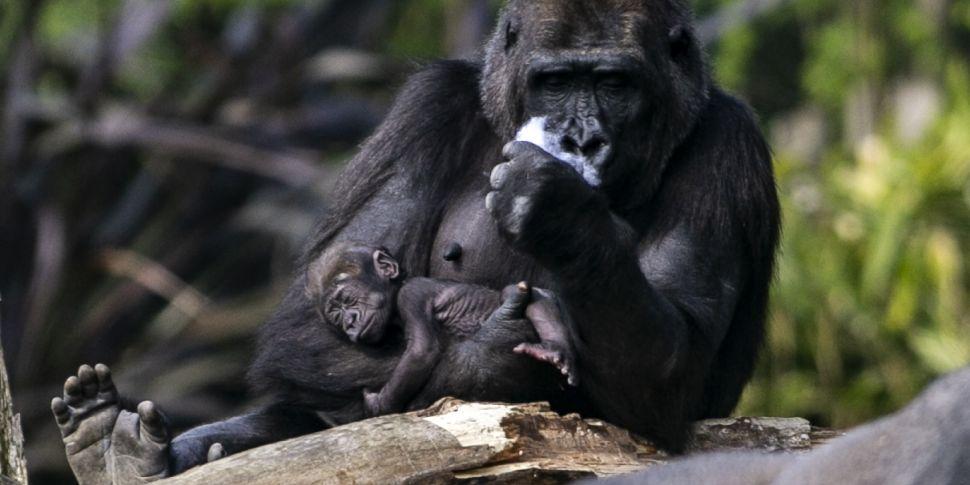 Dublin Zoo facing permanent cl...
